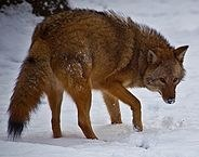 Coyote Sightings on the Increase