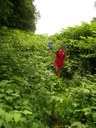 Through the knotweed jungle